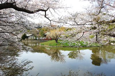 Kamakurasakura